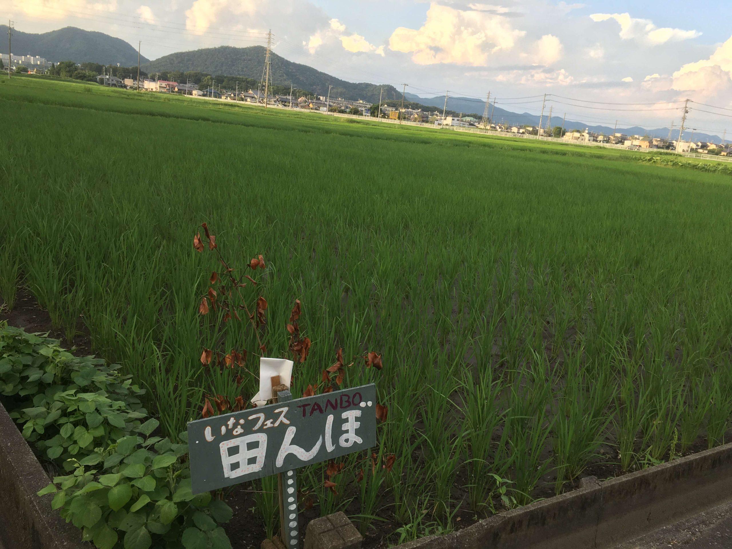 大きな田んぼ(1ヶ月後)
